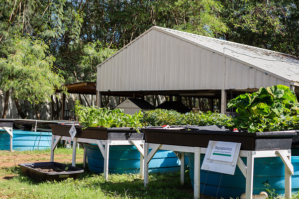 An aquaponics project at the Waim?nalo learning center