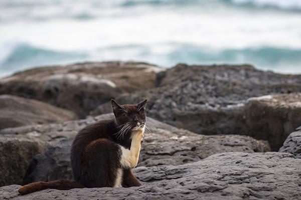 feral cat in Hawaiʻi